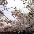 4/1・新小岩公園