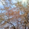 4/5神宮外苑のしだれ桜