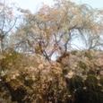 4/5神宮外苑のしだれ桜その2