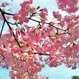 国立劇場の桜・3