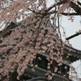 松本城の桜・その2