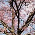 国立劇場の桜・2