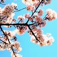 上野の青空と桜