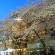 3/29・銀座一丁目の夜桜1