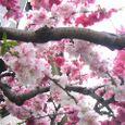 いただき物の桜画像2