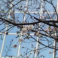 今年初の寒桜
