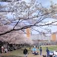 少年野球と桜