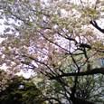 4月12日・青学の八重桜