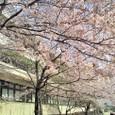 学校の桜 1