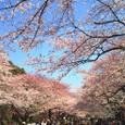上野公園の桜4月6日