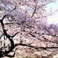 上野8分咲き