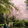 青学のしだれ桜