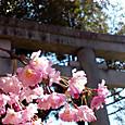 根津神社の桜2