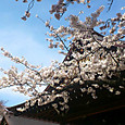 靖国神社の桜 ソメイヨシノ 標準木