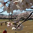 桜の下の親子