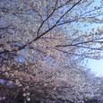3月26日:横浜の桜