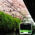 山手線と桜