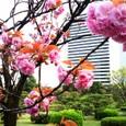 浜離宮の八重桜 2