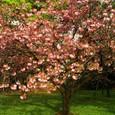 浜離宮の八重桜 1