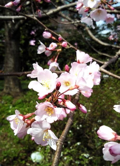 国立劇場の桜・4