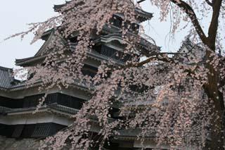 松本城の桜・その3