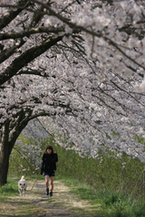 信州桜並木1