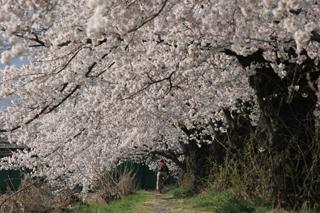 信州桜並木3