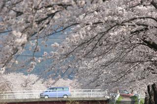 信州桜並木2