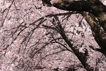4月19日・諏訪の桜