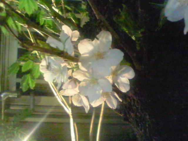 銀座一丁目の夜桜2