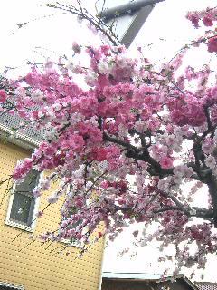 いただき物の桜画像1