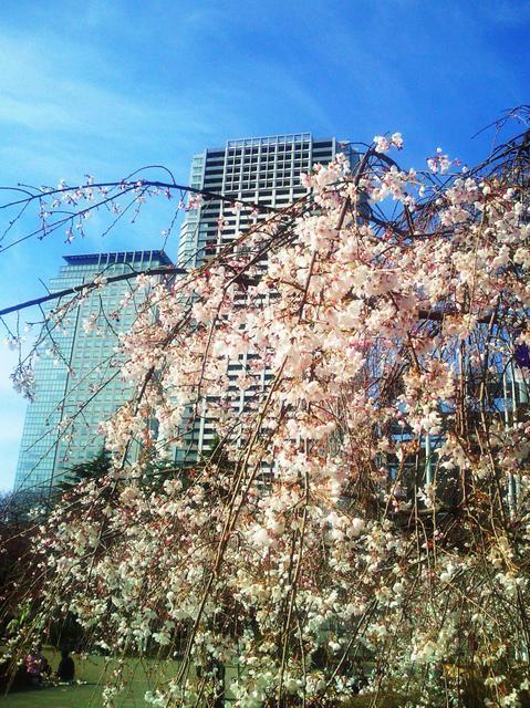 錦糸公園のしだれ桜