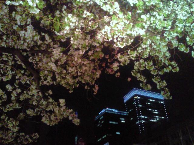 京橋の大島桜
