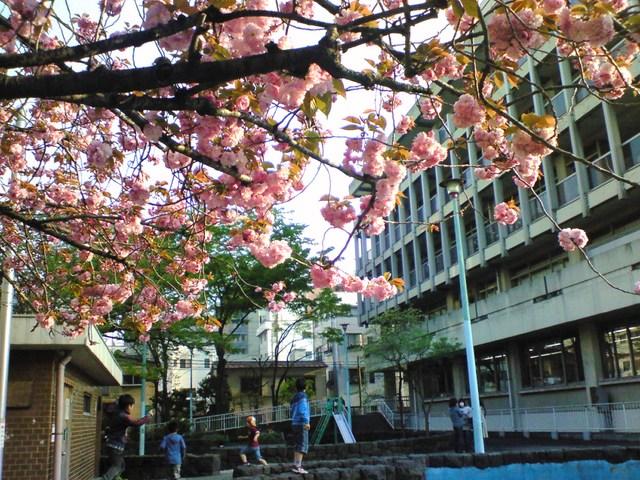 4月14日・下町の八重桜