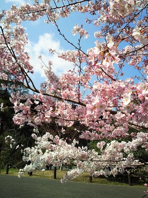 国立劇場 桜 3月31日