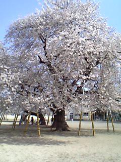 番外編:茨城県土浦市・真鍋小学校校庭の桜
