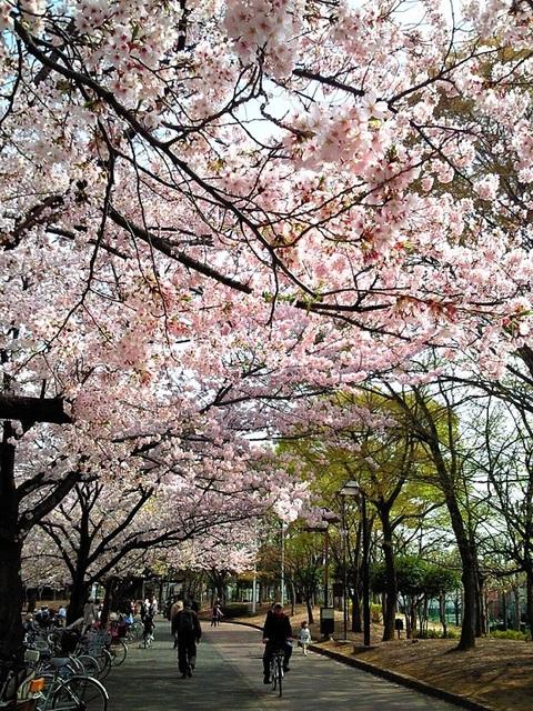 新小岩公園の桜並木