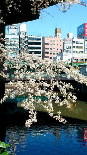 三崎橋の桜