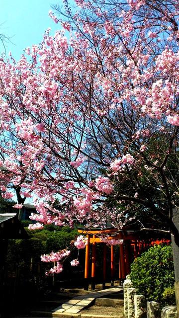 根津神社の桜1