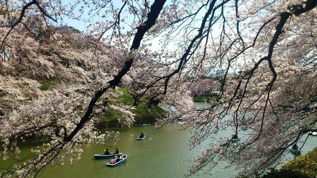 千鳥ヶ淵の桜とボート2