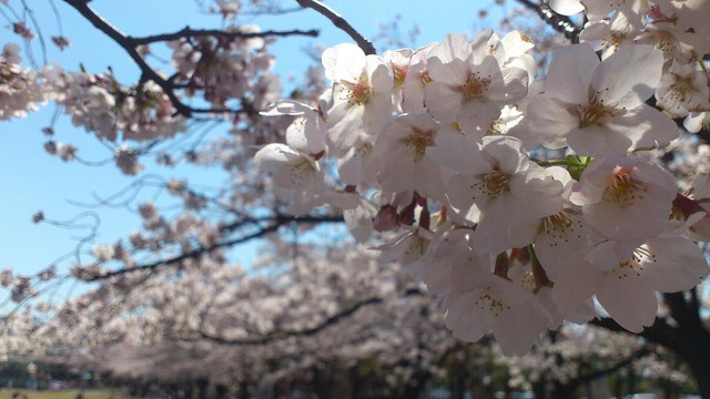 新小岩公園の桜