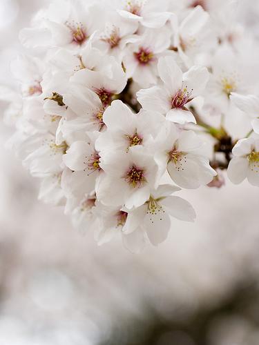 最後の桜?