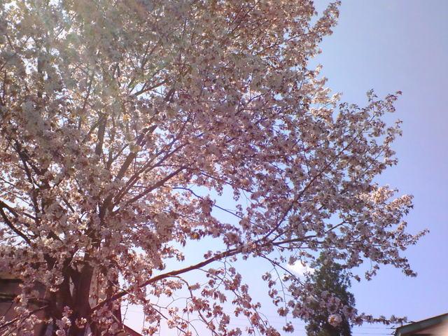 魚沼の桜その2